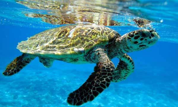 Atlantic Hawksbill Turtle